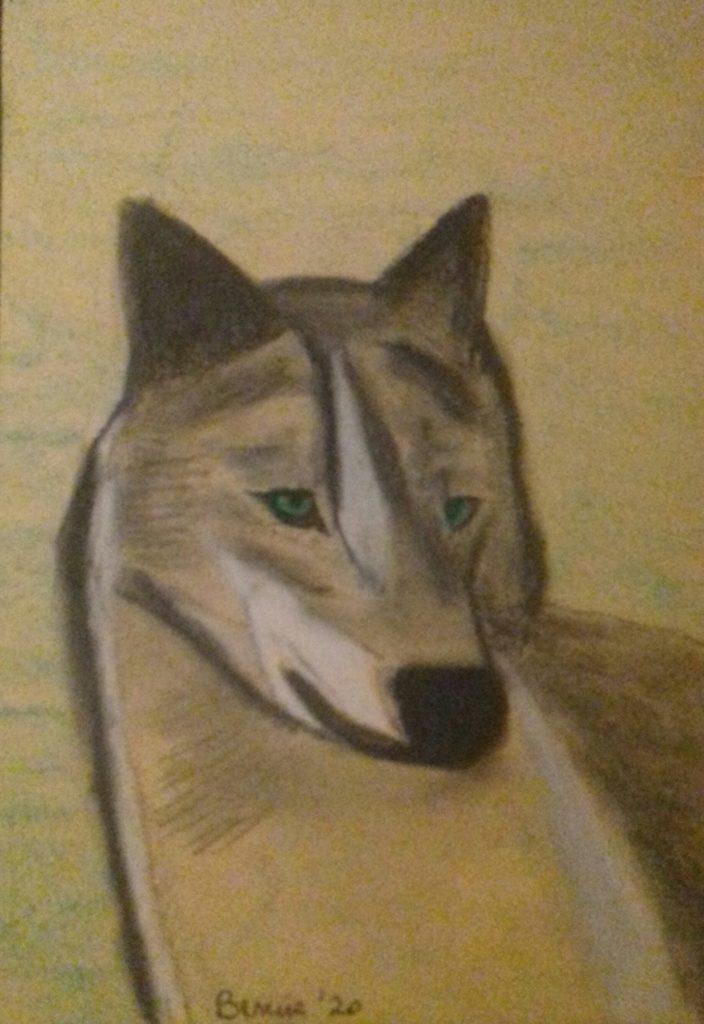 Un lupo intento ad osservare
